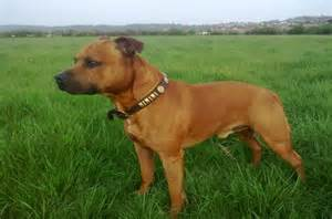 Big Non Hypoallergenic Dogs by Staffordshire Bull Terrier