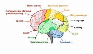 Parts Of The Brain Diagram Quiz | www.pixshark.com ...