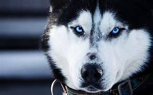 White Siberian Husky Wolf Mix | You're Just a Little Husky ...
