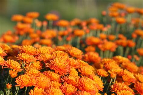 Growing Hardy Mums - Chrysanthemums for Your Garden