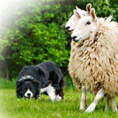 working sheepdog website herding sheepdog  cattle