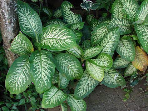 dieffenbachia seguine hortipedia