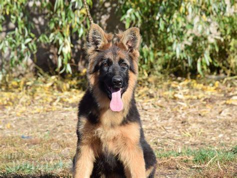 dog shepherd german coat gsd
