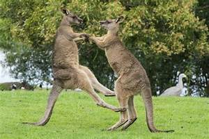 Kangaroos fight in Australia - NY Daily News