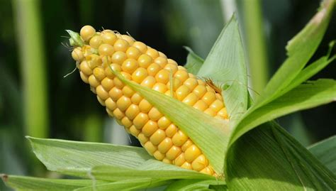 corn history the corn growing instructions archives harvesting history