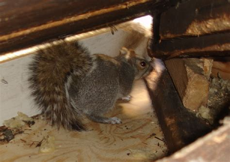 Can Squirrels Permanently Live Roof