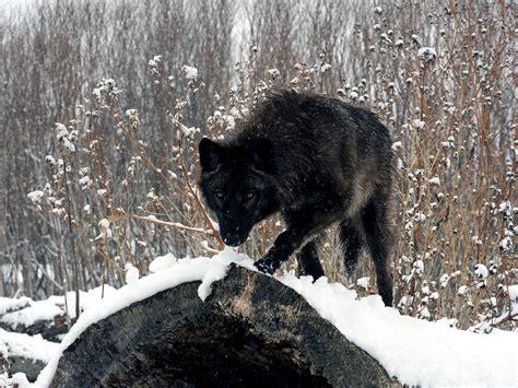 Black Wallpaper Of Wolf by Black Wolf Hd Desktop Wallpapers 4k Hd