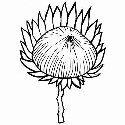 Protea Coloring Pages Sunflower Nature Drawings 83kb