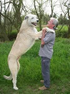 irish wolfhound dog are amazing domestic pet about pet life