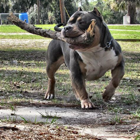 Best Pit by What Is The Best Food To Add To My Pit Bull Or