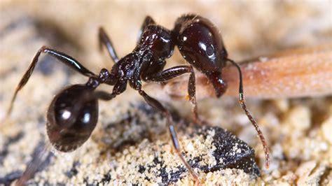 Ameisen In Der Wohnung Das Hilft