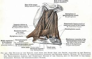 540  The Muscles Of The Tongue  M  Longitudinalis Inferior