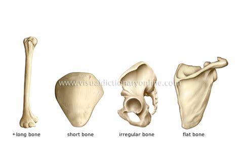 Types Of Bones Image