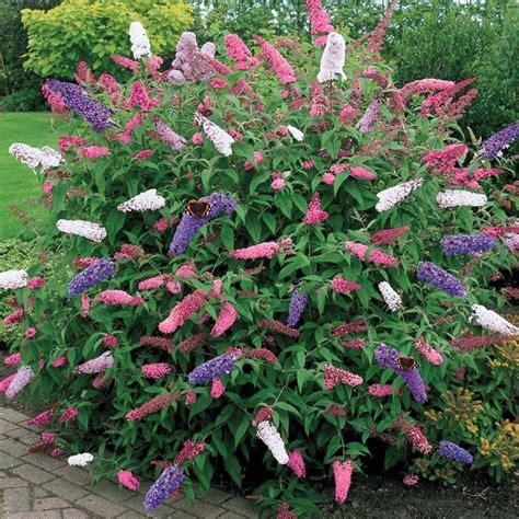 garden plants 1 x buddleia tricolour butterfly bush mixed colours