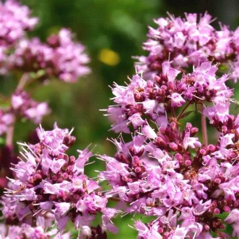Raudene parastā /Origanum vulgare / - Tējas augi ...