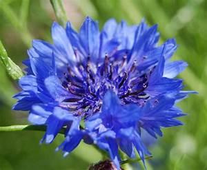 'Blue Boy' Cornflowers. – Higgledy Garden