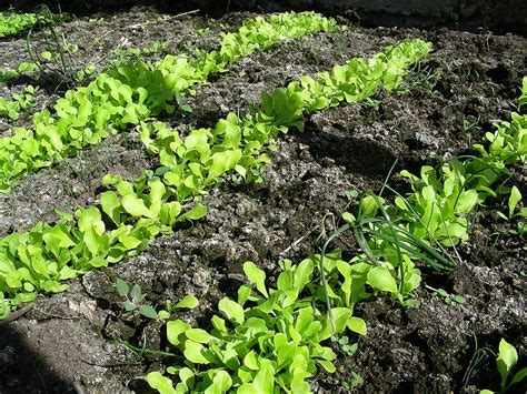 lettuce growing problems  solutions