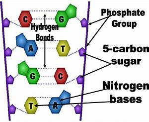Dna Is Made Up Of Phosphate Groups  Nitrogen Bases  And