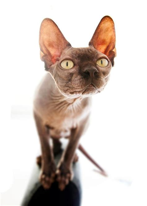 1000+ Images About мое On Pinterest  Sphynx, Sphynx Cat