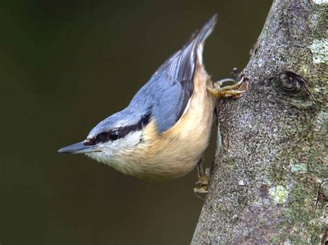 Exclusive Home Interiors - the nuthatch identification plumage habitat saga
