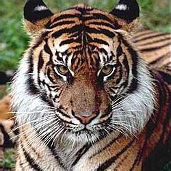 Le Tigre De La Caspienne Tigrou