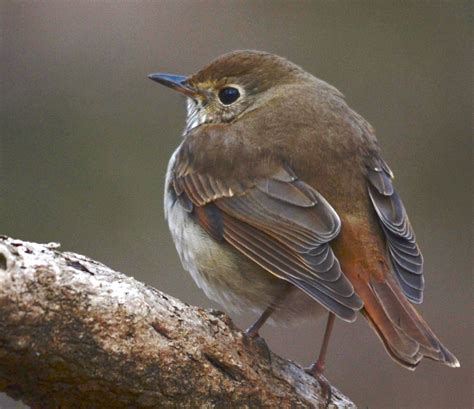 Baby Thrush Pictures Pictures Photos