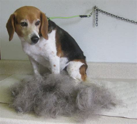 do beagles shed grooming beagle hair 1001doggy