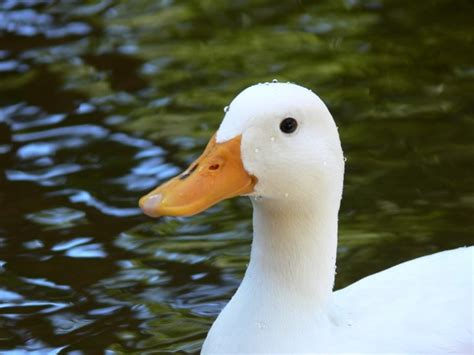 images of ducks white duck in pond free stock photo public domain pictures