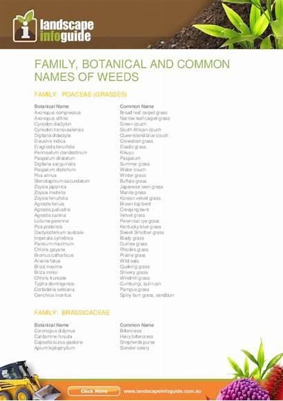 Common Weeds Names Botanical Poaceae Grasses Pdf