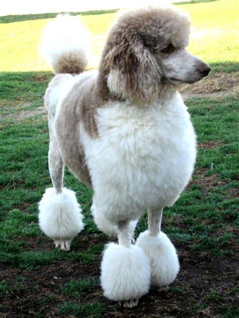 huxtable  poodle toy poodle blog parti poodle