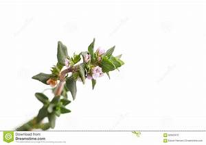 Fresh Thyme Leaves Stock Photo - Image: 62920472