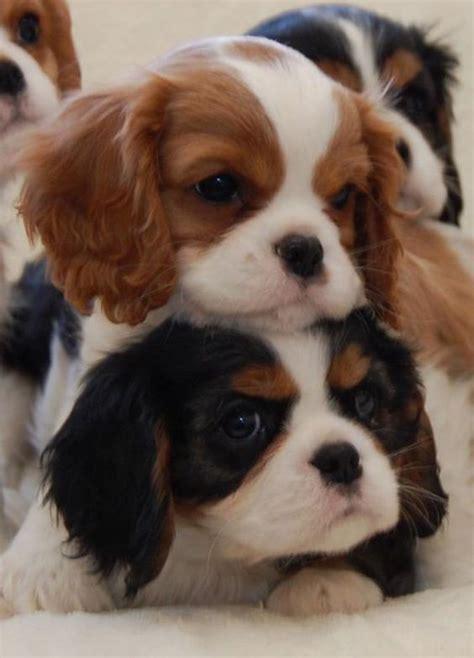 double decker king charles cavalier puppies luvbat