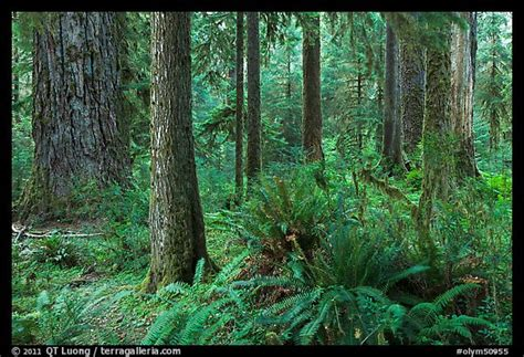 picturephoto ferns  trees hoh rain forest olympic