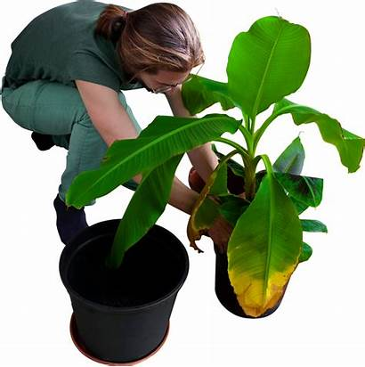 Banana Trees Transparent Planting Plant Clipart Gardening