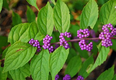 berry shrub crabapple landscapexperts match your football team colors to your garden berries