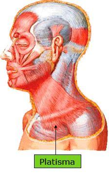 Músculos do Pescoço/ Sistema Muscular/ Site Anatomia/ Aula ...