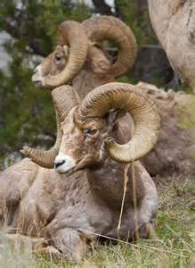 Bighorn Sheep Yellowstone National Park