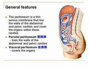 The peritoneum 腹 膜. - ppt video online download