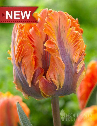 wann pflanzt tulpen die besten 25 parrot tulips ideen auf papageientulpen hochzeit blumenbilder