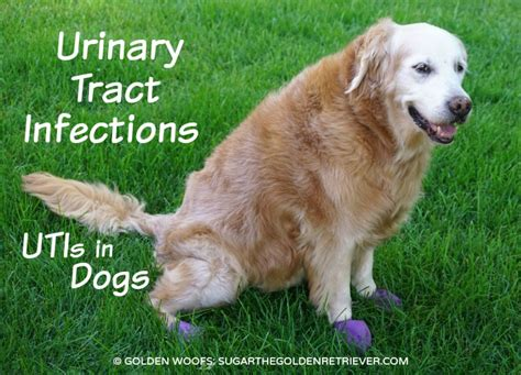 urinary tract infections utis  dogs golden woofs
