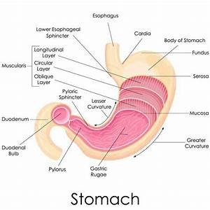 Esophagus Function In The Digestive System | MedicineBTG.com