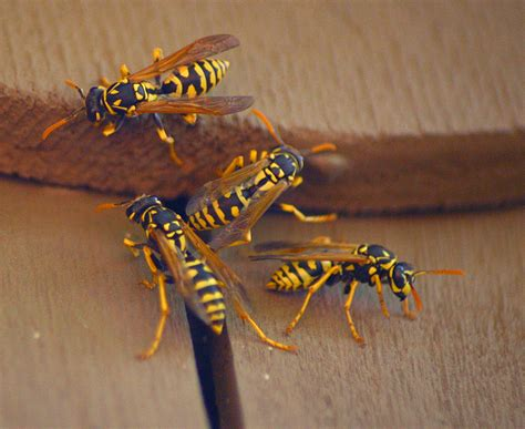 ground dwelling bees ground nesting bees are they a threat to you or your lawn