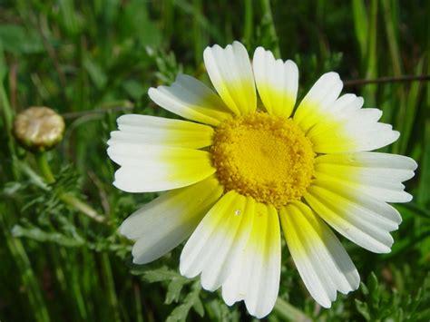 les fleurs comestibles en cuisine fleurs comestibles profitez de leurs beautés au jardin et dans l 39 assiette le jardin des