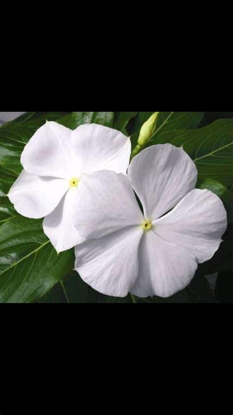 jual bibit tanaman tapak dara bunga putih tanaman hias