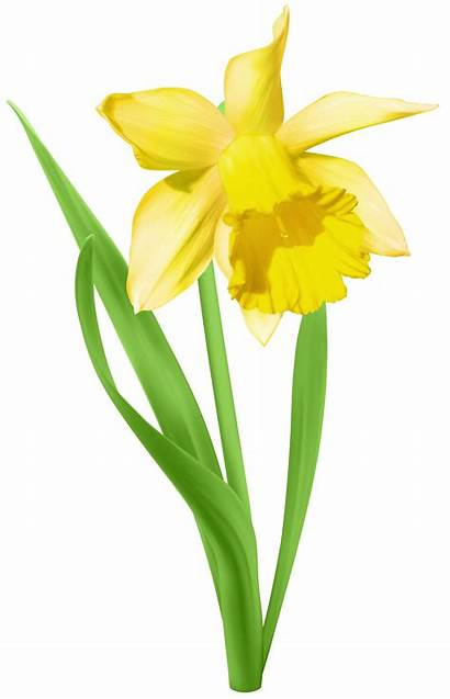 Daffodil Transparent Clip Clipart Flower Flowers Narcissus
