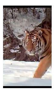 Rare Footage of Wild Siberian Tiger Captured in NE China ...