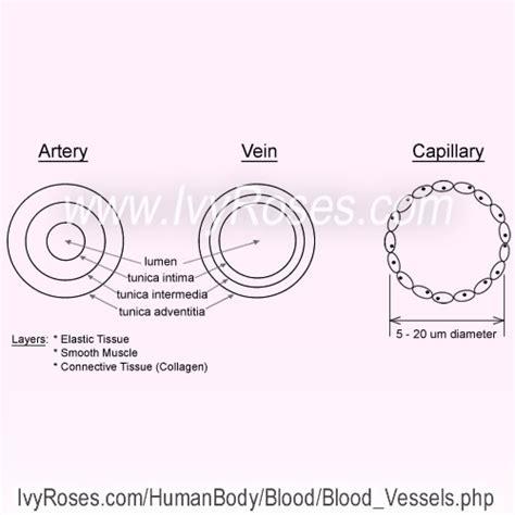 blood vessels vascular system