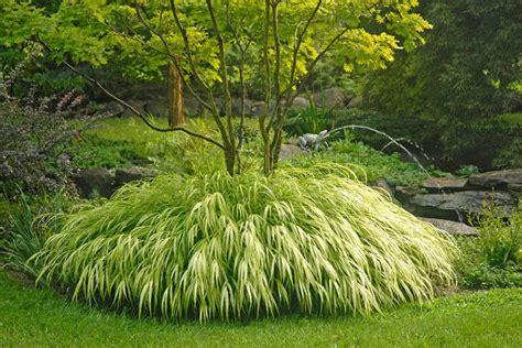 japanese plants golden japanese forest grass ornamental grasses stark bro s