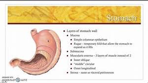 Stomach anatomy - YouTube  Stomach
