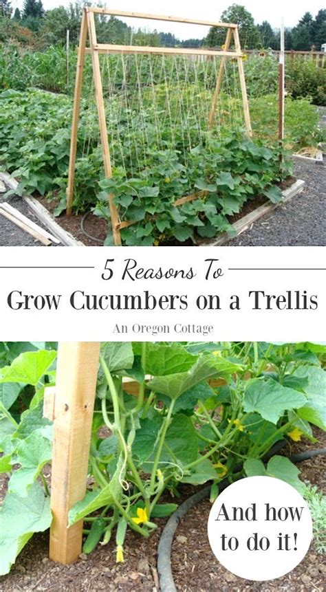 growing cucumbers on a trellis five reasons to grow cucumbers on a trellis and taking up